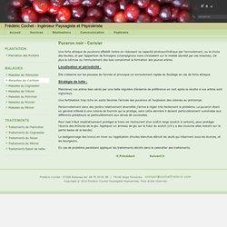 Puceron noir - Cerisier