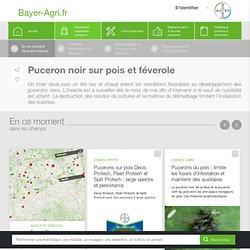 Puceron noir (pois, féverole) - Bayer-Agri, conseils phyto
