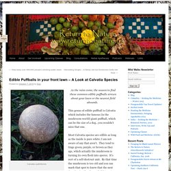 Edible Puffballs in your front lawn – A Look at Calvatia Species