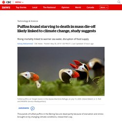 Puffins found starving to death in mass die-off likely linked to climate change, study suggests