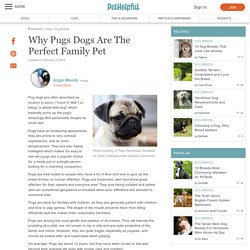 Why Pugs Dogs Are The Perfect Family Pet