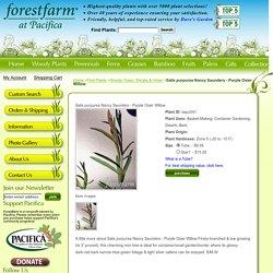 Salix purpurea Nancy Saunders - Purple Osier Willow Forestfarm