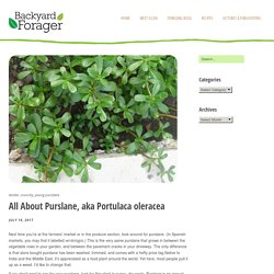 All About Purslane, aka Portulaca oleracea – Backyard Forager