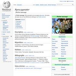 Pyrus pyraster/Poirier sauvage