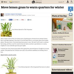 Move lemon grass to warm quarters for winter
