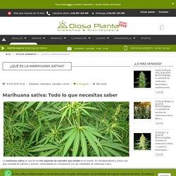 ¿Qué es la marihuana sativa?
