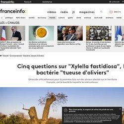 """FRANCE INFO 11/09/19 Cinq questions sur """"Xylella fastidiosa"""", la bactérie """"tueuse d'oliviers"""""""
