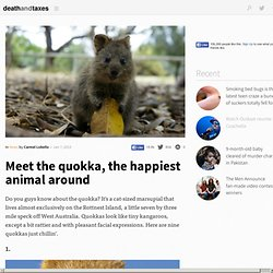 Meet the quokka, the happiest animal around