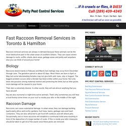 Fast Raccoon Removal Services in Toronto & Hamilton