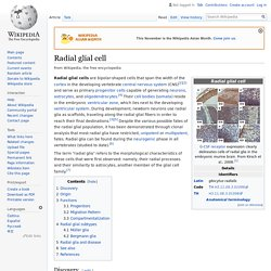 Radial glial cell