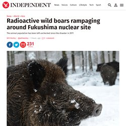 Radioactive wild boars rampaging around Fukushima nuclear site