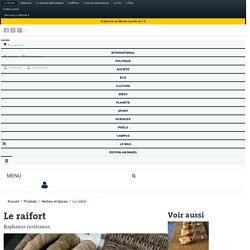 Le raifort - Tout sur le raifort (Raphanus rusticanus)