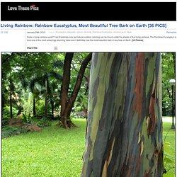 Living Rainbow: Rainbow Eucalyptus, Most Beautiful Tree Bark on Earth [36 PICS]