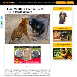Tiger Vs Sloth bear battle for life in Ranthambore - WildTrails Recent Sightings