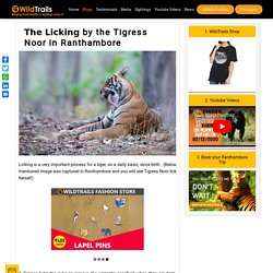 □□□ □□□□□□□ by the Tigress Noor in Ranthambore - WildTrails Recent Sightings