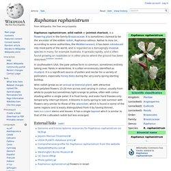 Raphanus raphanistrum
