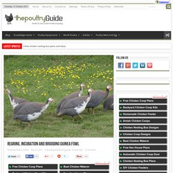 Rearing, Incubation and brooding Guinea Fowl
