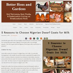 5 Reasons to Choose Nigerian Dwarf Goats for Milk