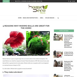 5 Reasons Why Marimo Balls Are Great For The Home!