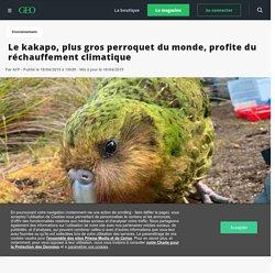 Le kakapo, plus gros perroquet du monde, profite du réchauffement climatique - Geo