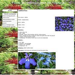 Lobelia erinus - Fiches de reconnaissance des végétaux
