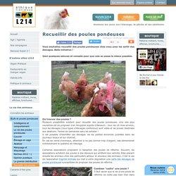 Recueillir des poules pondeuses