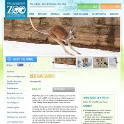 Red kangaroo - Philadelphia Zoo
