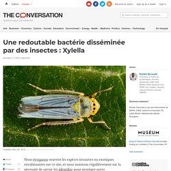 THE CONVERSATION 17/11/19 Une redoutable bactérie disséminée par des insectes : Xylella
