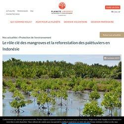 Le rôle clé des mangroves et la reforestation des palétuviers en Indonésie