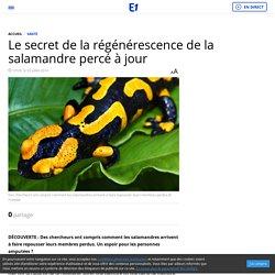 Le secret de la régénérescence de la salamandre percé à jour