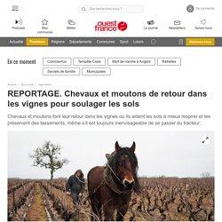 REPORTAGE. Chevaux et moutons de retour dans les vignes pour soulager les sols