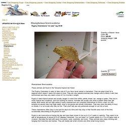 Reptile City: Pygmy Chameleons