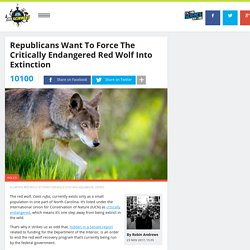 Republicans Want To Force The Critically Endangered Red Wolf Into Extinction