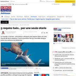 5 requins tués... par une seule otarie