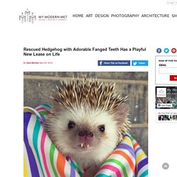 Rescued Hedgehog with Adorable Fanged Teeth Has a Playful New Lease on Life