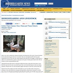 Cotton Patch Geese: How I Rescued These Historic Weeder Geese – Happy Homesteader – Mother Earth News