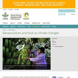 CGIAR 04/10/11 Banana boom and bust as climate changes