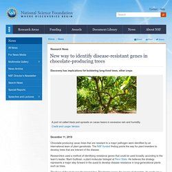 NATIONAL SCIENCE FOUNDATION 11/12/19 New way to identify disease-resistant genes in chocolate-producing trees
