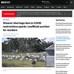 Shearer shortage due to COVID restrictions sparks 'unofficial auction' for workers