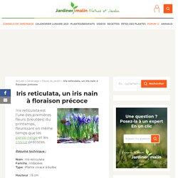 Iris reticulata, réticulé : Plantation et conseils d'entretien