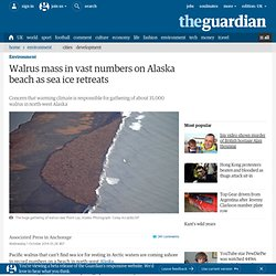 Walrus mass in vast numbers on Alaska beach as sea ice retreats