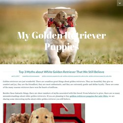 Top 3 Myths about White Golden Retriever That We Still Believe – My Golden Retriever Puppies