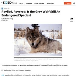 Reviled, Revered: Is the Gray Wolf Still An Endangered Species?