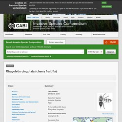 CABI 21/03/16 Rhagoletis cingulata (cherry fruit fly)