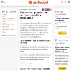 Rhubarbe : planter, cultiver, récolter