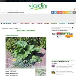 Rhubarbe, Rheum x hybridum