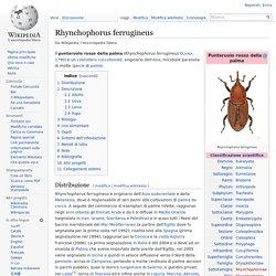 Rhynchophorus ferrugineus