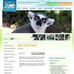 Ring-tailed lemur - Philadelphia Zoo