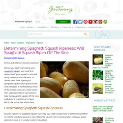 Ripening Of Spaghetti Squash – How To Ripen Squash After Picking