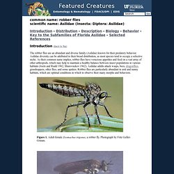 robber flies - Asilidae